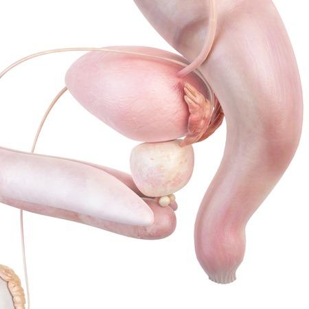 rectum: Male anatomy, illustration LANG_EVOIMAGES