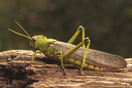 Giant grasshopper, close up LANG_EVOIMAGES