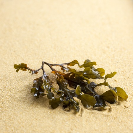 wrack: Bladder wrack on sand LANG_EVOIMAGES