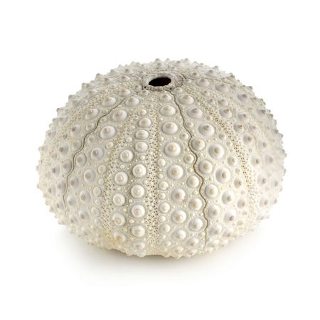 White sea urchin shell LANG_EVOIMAGES