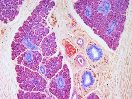 sectioned: Parotid salivary gland, LM