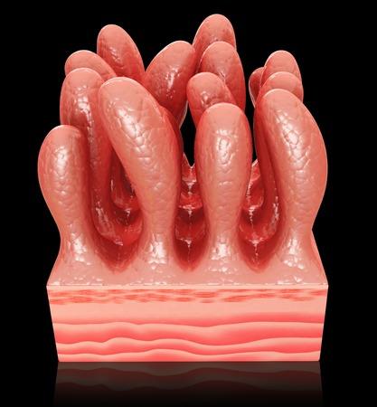 Small intestinal wall