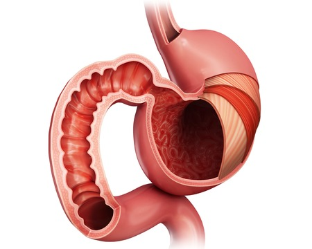 small intestine: Stomach layers and small intestine LANG_EVOIMAGES