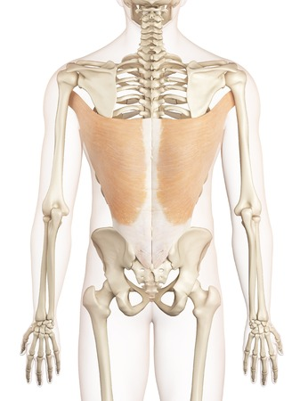 Músculos De La Espalda Humana, Ilustración Fotos, Retratos, Imágenes ...