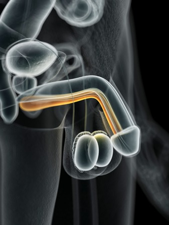 urethra: Male urethra, illustration