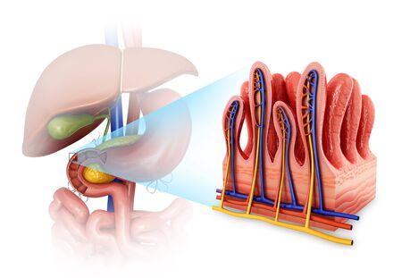 small intestine: Small intestine wall