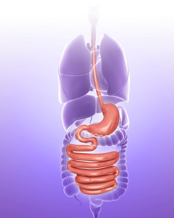 Stomach and intestine