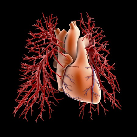 branching: Circulatory system of heart and lungs
