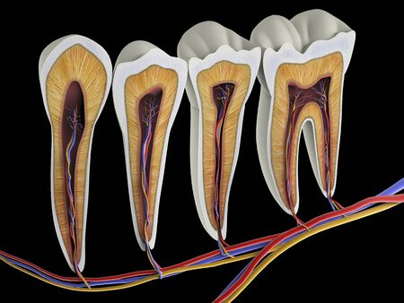 Teeth, cross section, artwork LANG_EVOIMAGES