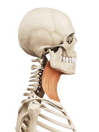 Músculos Del Cuello Humano, Ilustración Fotos, Retratos, Imágenes Y ...