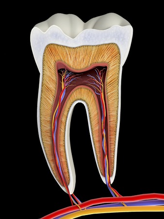 Molar tooth cross-section, artwork
