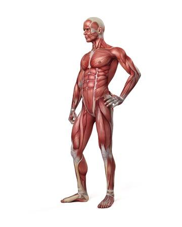Sistema Muscular Masculino, Ilustración Fotos, Retratos, Imágenes Y ...