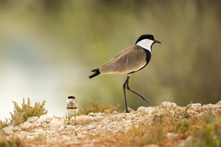 spur winged: Spur-winged Lapwing (Vanellus spinosus) LANG_EVOIMAGES