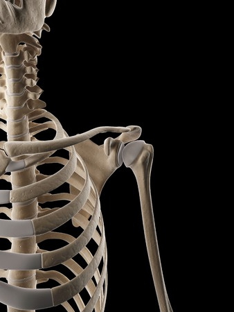 ribcage: Human ribcage, Illustration