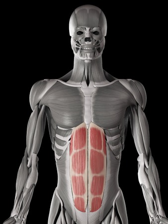 Human abdominal muscles, illustration LANG_EVOIMAGES