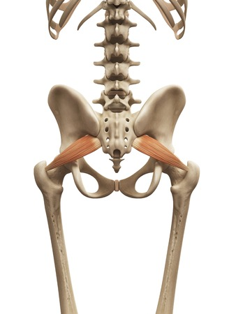 Human muscles, illustration LANG_EVOIMAGES