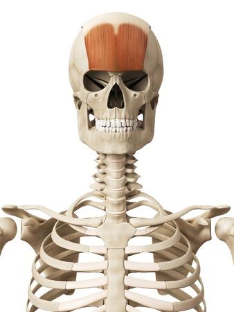 skeletal system: Human head muscles, illustration