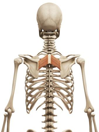 Human back muscles, illustration LANG_EVOIMAGES