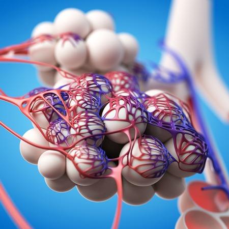 Human alveoli, illustration