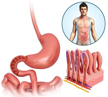 Villi of the human stomach, illustration LANG_EVOIMAGES