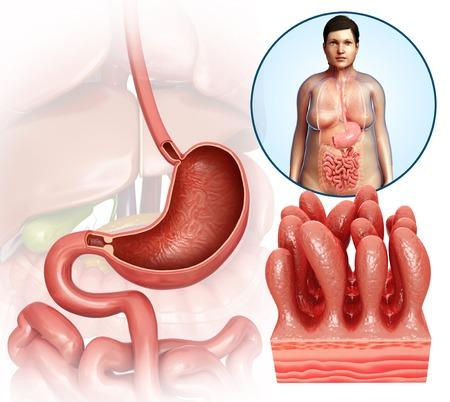 small intestine: Stomach anatomy and intestinal villi LANG_EVOIMAGES