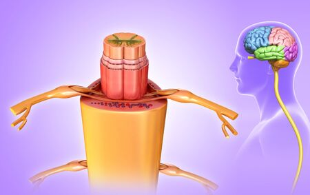Spinal cord cross-section, illustration LANG_EVOIMAGES