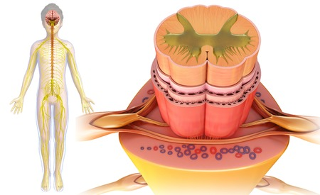 Spinal Cord Cross Section Illustration Stock Photo Picture And