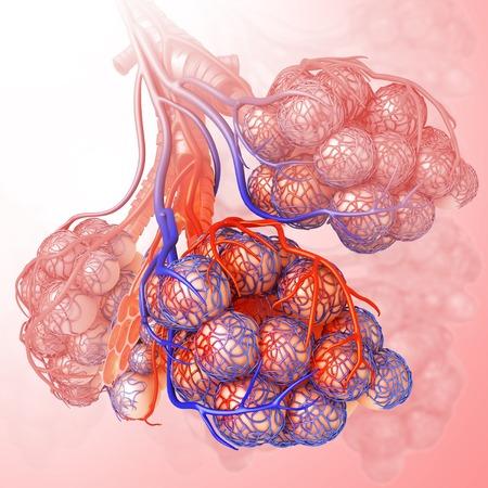 alveolos: Alvéolos del pulmón humano, ilustración