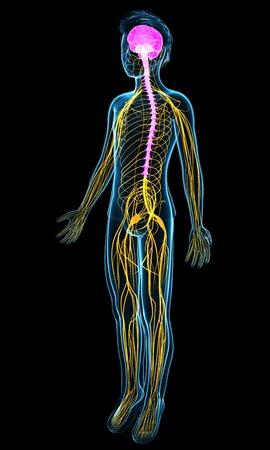 sistema nervioso central: Sistema nervioso, ilustración