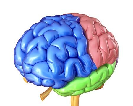 Human brain regions, illustration LANG_EVOIMAGES