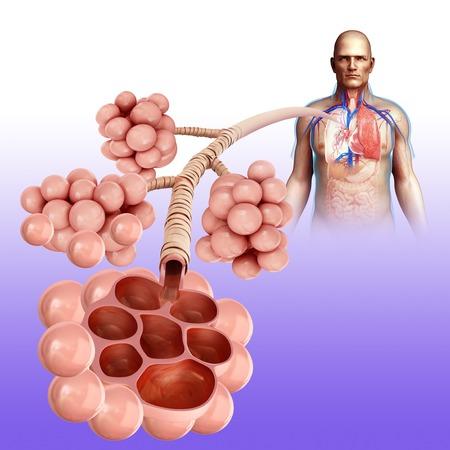 alveolos: Alvéolos humanos, ilustración