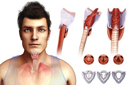 Human vocal cords, illustration LANG_EVOIMAGES