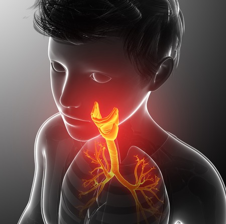 bronchioles: Human thyroid, illustration