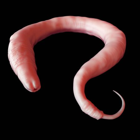elegans: Elegans worm, illustration