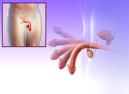 testicles: Male reproductive system, illustration LANG_EVOIMAGES