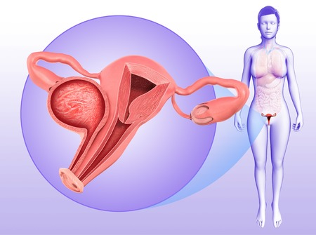ovaries: Female reproductive system, illustration