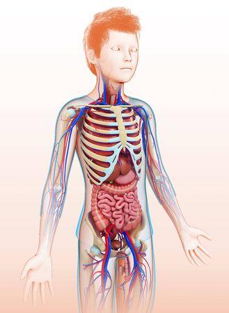 skeletal system: Human anatomy, illustration