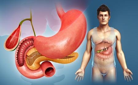 trzustka: Ludzki żołądek i trzustka, ilustracja
