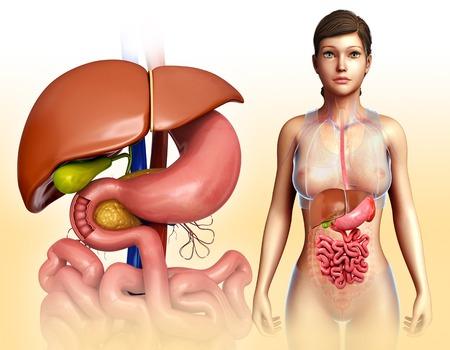 small intestine: Liver and digestive system, illustration LANG_EVOIMAGES