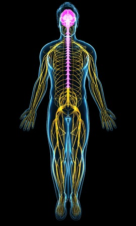 Human Nervous System, Illustration Stock Photo, Picture And Royalty ...