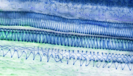 sectioned: Xylem, LM LANG_EVOIMAGES