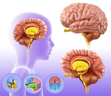 midbrain: Childs brain structures, illustration LANG_EVOIMAGES