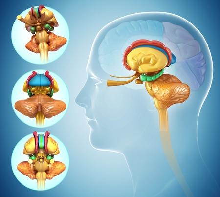 sistema nervioso central: Anatomía del cerebro humano, ilustración