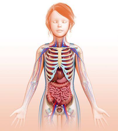 small intestine: Female anatomy, illustration LANG_EVOIMAGES