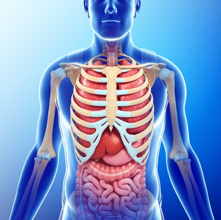 Human Chest Anatomy, Illustration Stock Photo, Picture And Royalty ...