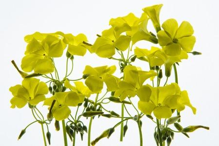 Back lit Flower petals LANG_EVOIMAGES
