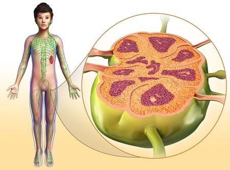 lymph: Lymph node, illustration
