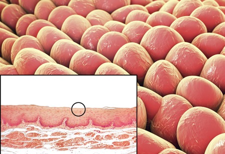 Squamous epithelium, illustration