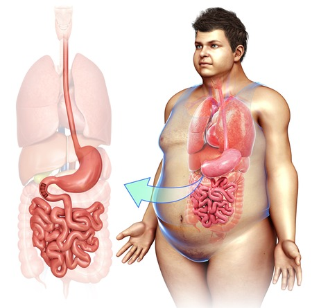 small intestine: Stomach and small intestine, illustration