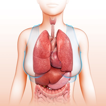 Chest and body organs, illustration LANG_EVOIMAGES